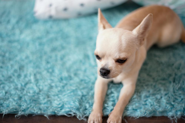 Why Pet Urine is Bad for Your Carpet